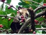 The Real Luwak Coffee / Civet Coffee